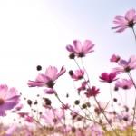 pink-flower-field-158756 (1)